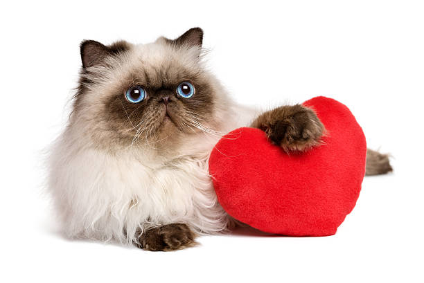 Lover Valentine persian colourpoint cat with a red heart Cute lover valentine persian colourpoint cat with a red heart, isolated on white background kitten cute valentines day domestic cat stock pictures, royalty-free photos & images