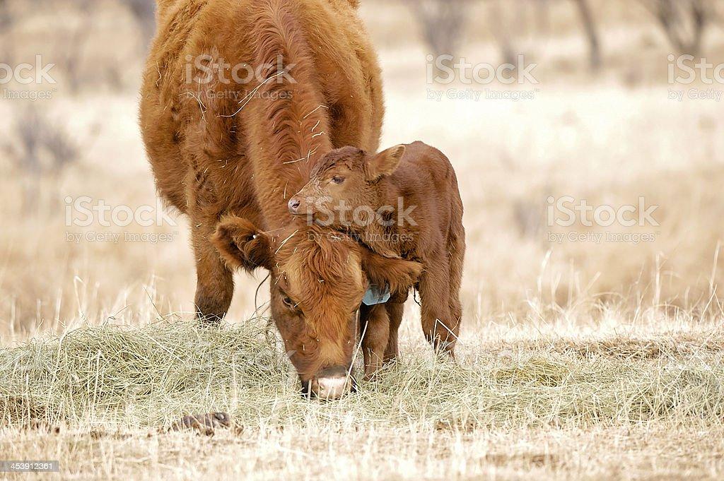 Loving Cow and Newborn Calf royalty-free stock photo