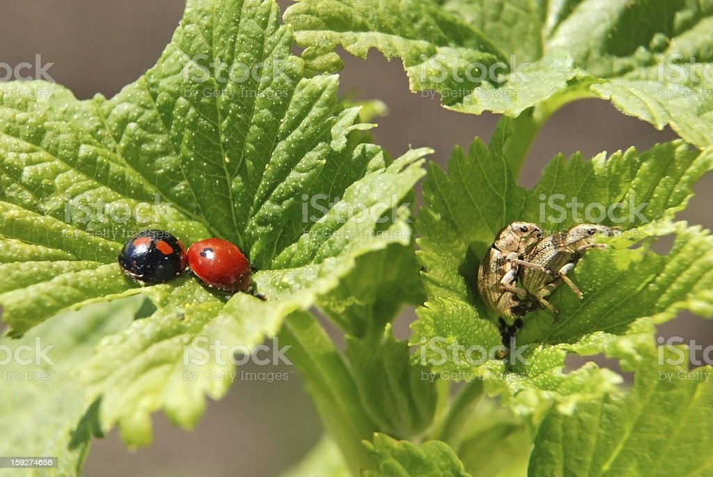 Loving each other ladybugs and weevils royalty-free stock photo