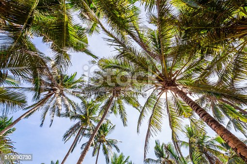 Low wide angle view of tall vivid green tropical palm trees on a sunny day with blue sky and sun in contra-jour. Shot on Canon EOS full frame system.