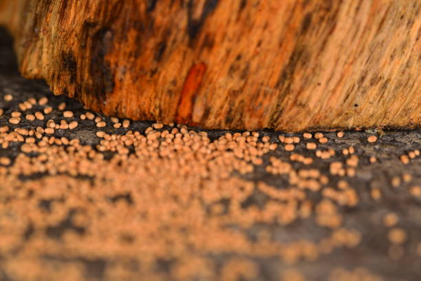 Low Angle Close Up Of Drywood Termite Droppings From Rustic Wood Furniture Leg Stock Photo Download Image Now Istock