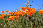 California poppy and bud on white background