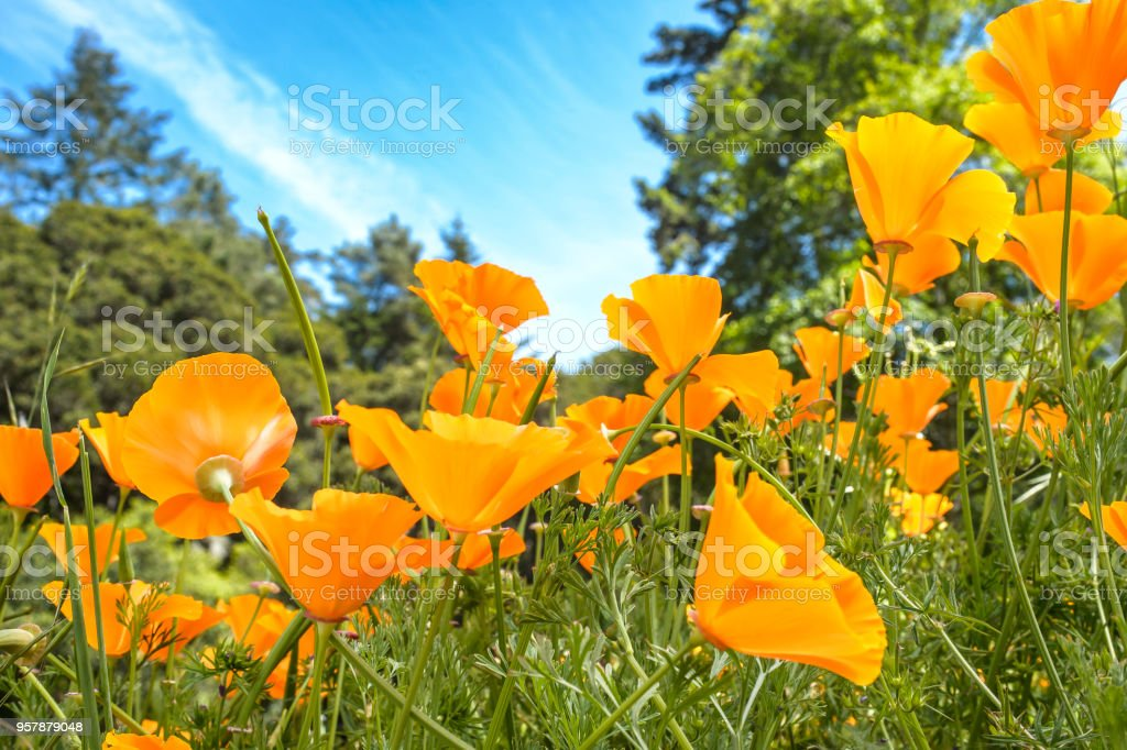 Low Angle Close-up of Blooming California Poppy Wildflowers stock photo