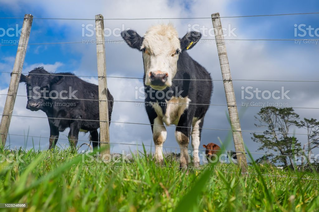 Low angle POV of grass fed beef cattle on hillside with uneven fence stock photo