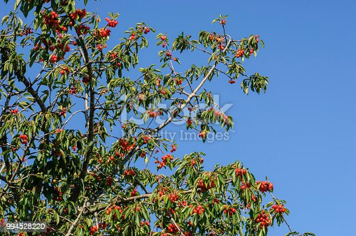Low angle image of ripening bing cherries (Prunus avium) on fruit tree.