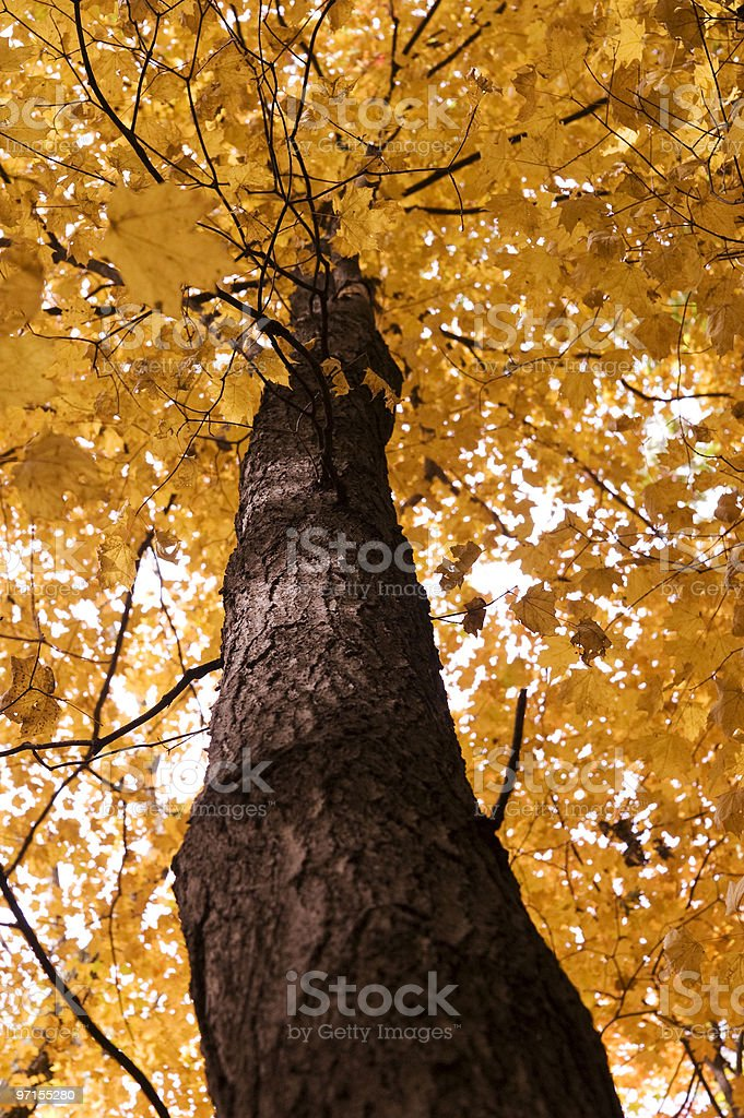 Low Angle of Large Tree with Autumn Leaves royalty-free stock photo