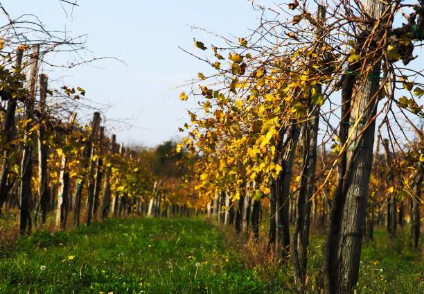 Low angle of Vineyard in Autumn Low angle of vineyard in autumn. university of missouri columbia stock pictures, royalty-free photos & images