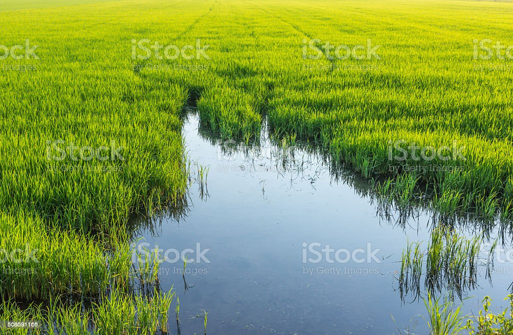 Low angle reflection water in rice farming in Thailand. stock photo