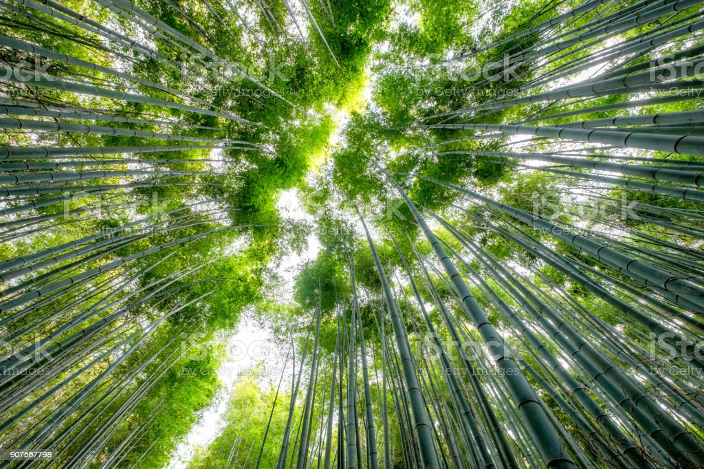Low angle view beautiful green Bamboo forest stock photo