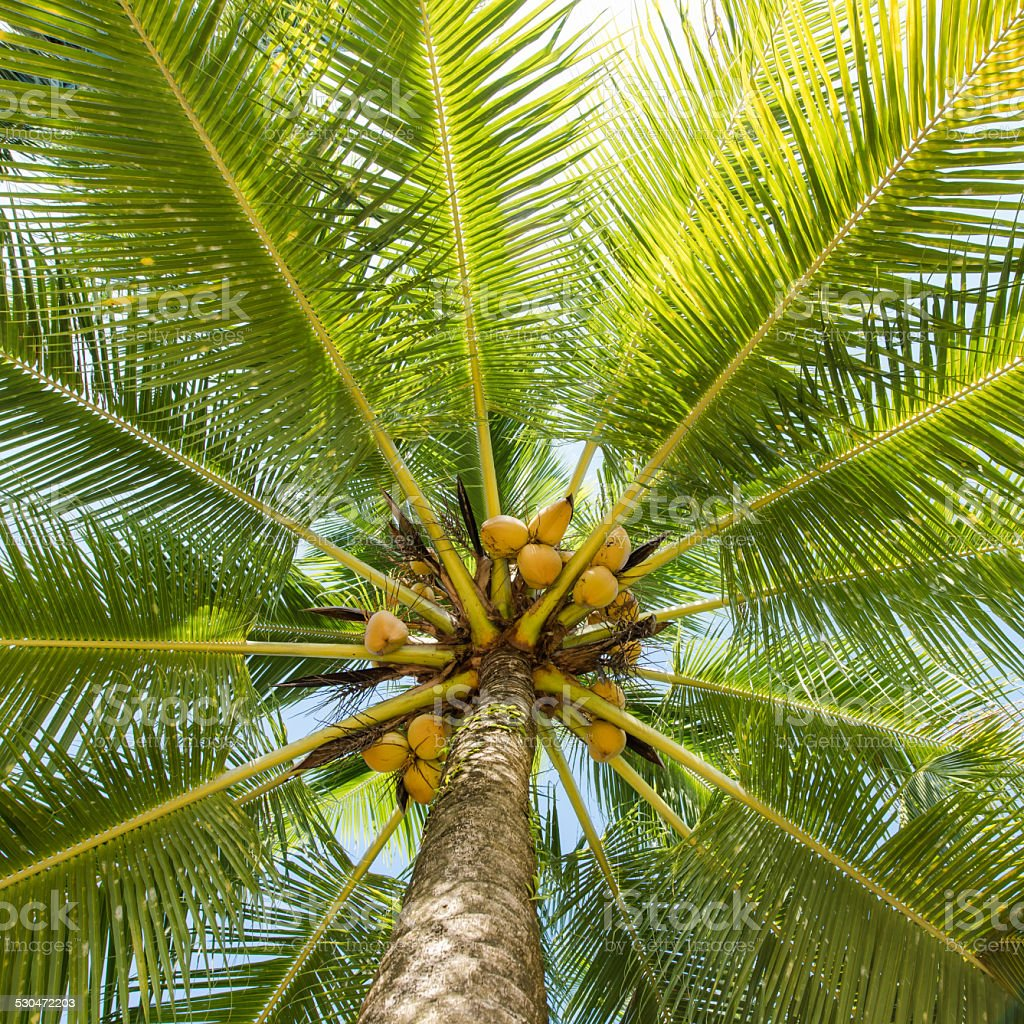 Low angle view coconut palm tree stock photo