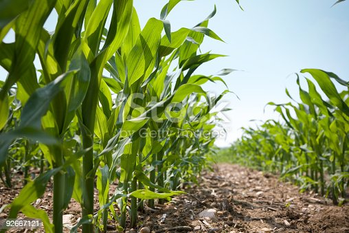 Low angle view looking down a of a row of corn on an organic farm. The corn was shot in mid-spring in the Northeastern USA.