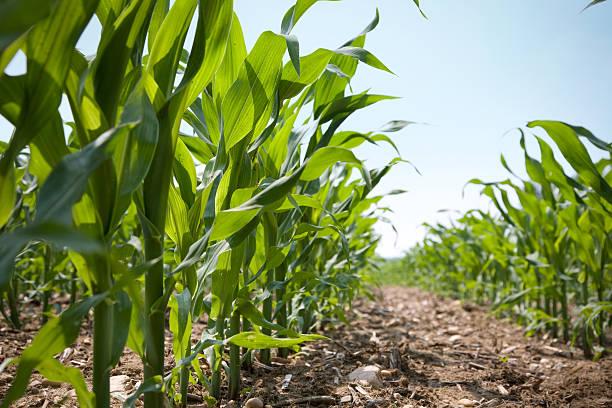 vista de ângulo baixo de uma linha de milho jovem caules - milho imagens e fotografias de stock