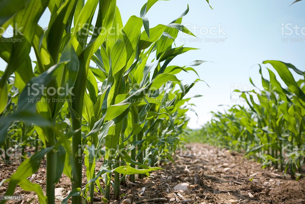 Low Angle View of a Row Of Young Corn Stalks stock photo
