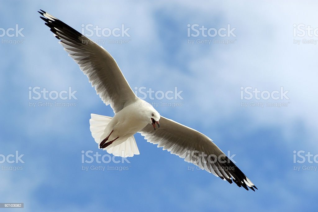 Low angle view of a seagull soaring in a pretty blue sky royalty-free stock photo