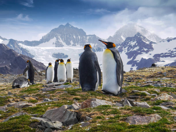 Low angle view of a small group of king penguins in St. Andrew's Bay, South Georgia Island with snowcapped mountains in the background. stock photo