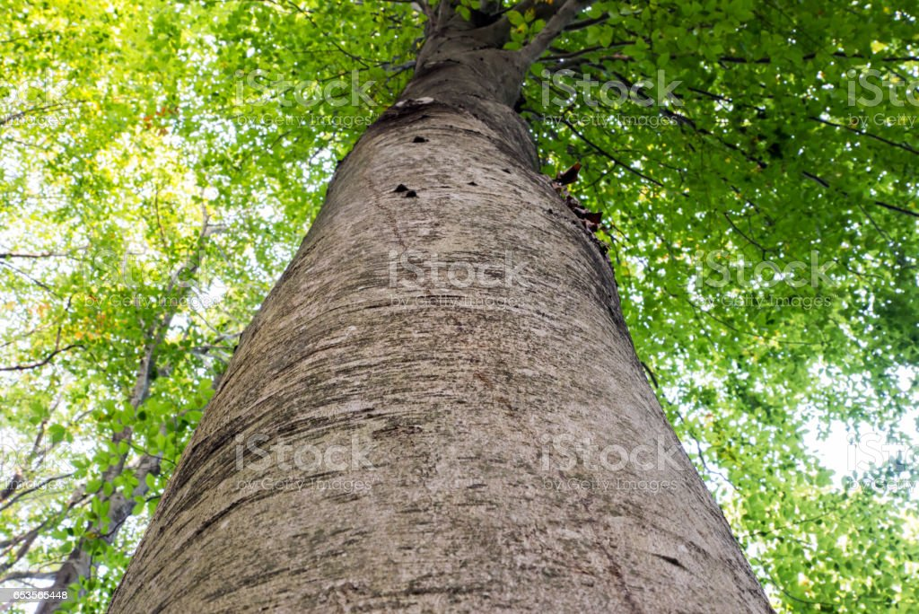 Low angle view of a tall Oriental beech (Fagus orientalis) tree against the sky. stock photo