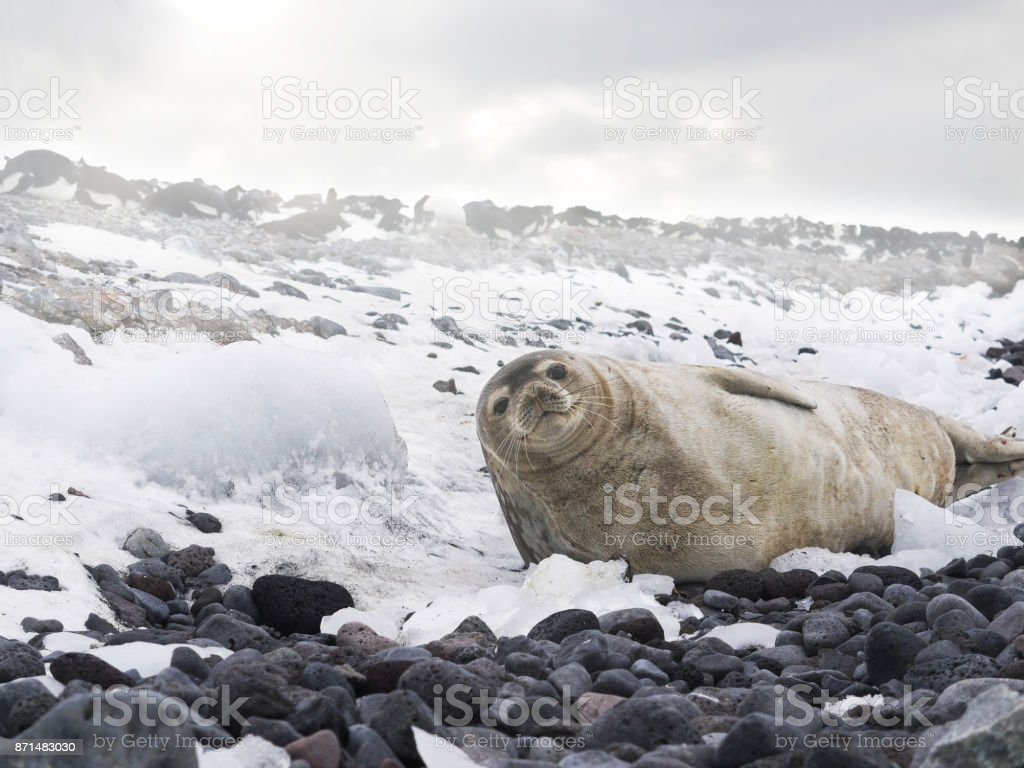 Low angle view of an adult Weddell seal (leptonychotes weddellii) lying on a beach of rock and snow, looking at the camera, on Paulet Island, Antarctica. stock photo