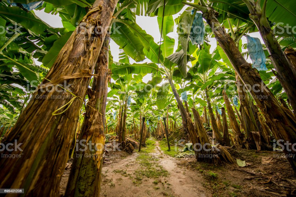 Low angle view of banana plantation stock photo