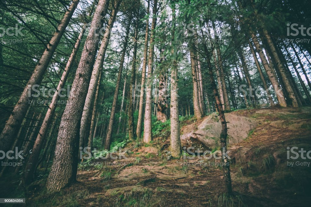 low angle view of beautiful evergreen trees growing in Indian Himalayas, Manali stock photo