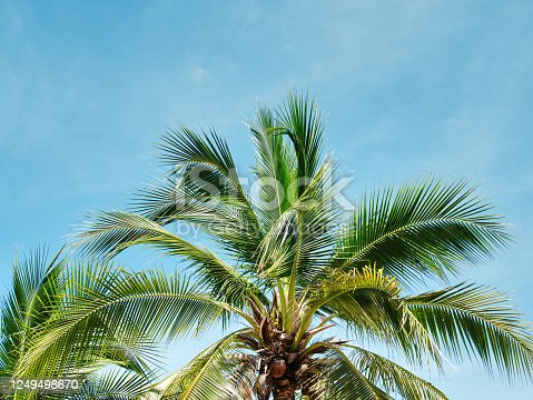 1145102719 istock photo Low Angle View of Coconut Tree Against Blue Sky in Summer 1249498670