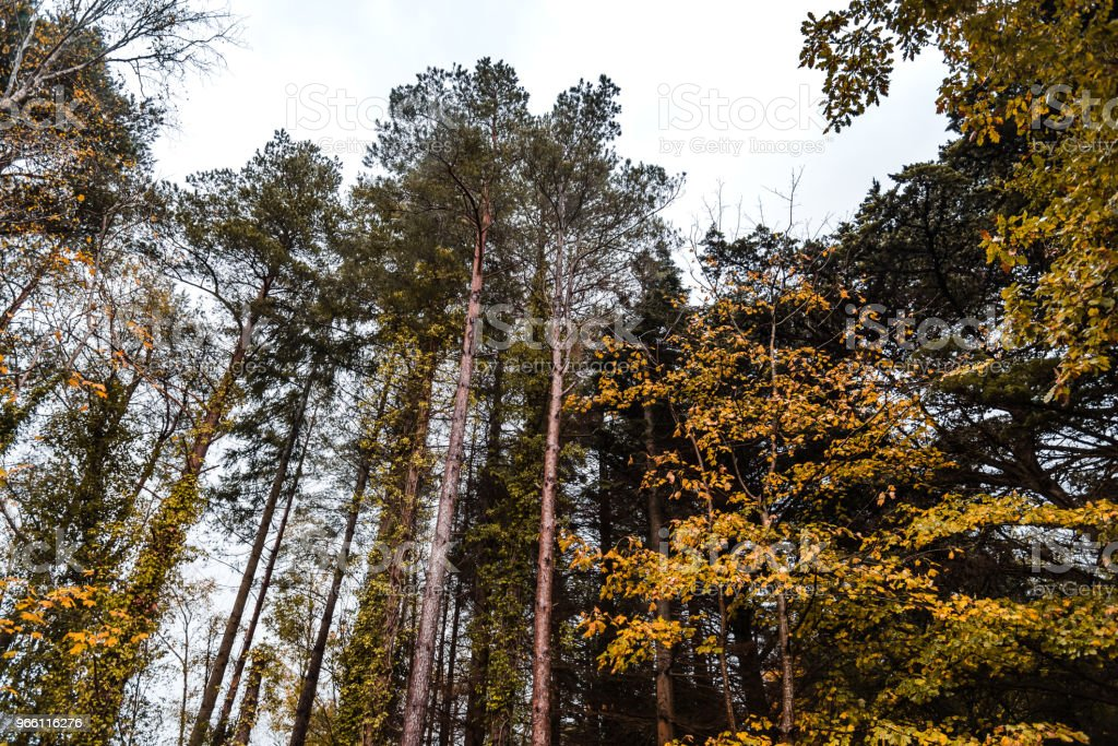 Low angle view of gold colored trees in forest - Royalty-free Autumn Stock Photo