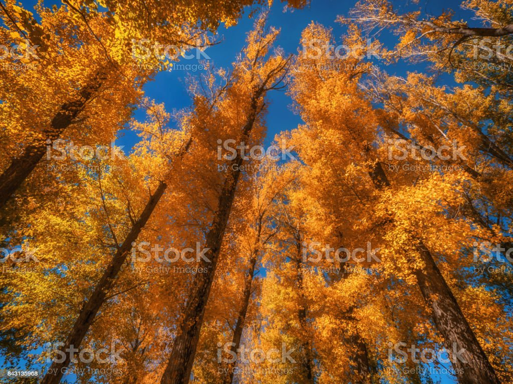 Low angle view of group of tall deciduous trees at peak color in autumn. Yellow and orange leaves. stock photo