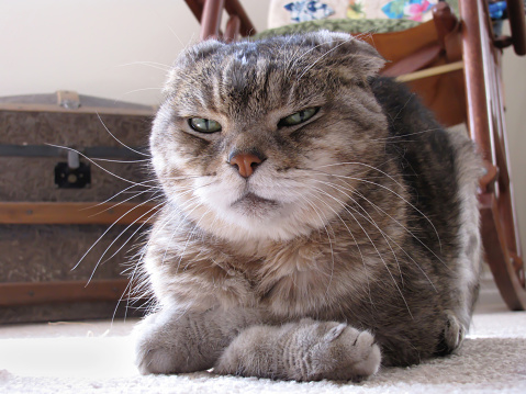 Scottish fold cat on floor with folded front paws and cranky expression.