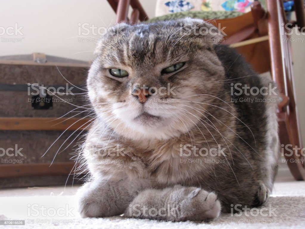 Low Angle View of Grumpy Looking Cat with Folded Ears and Paws stock photo