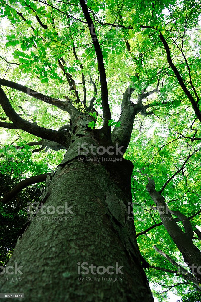 Low angle view of large tree royalty-free stock photo