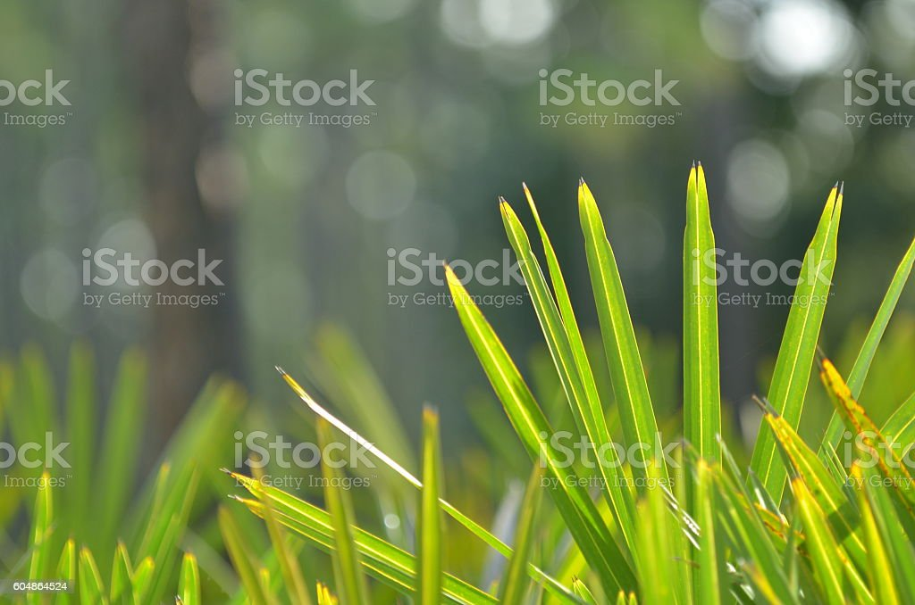 Low angle view of palm leaves with defocused forest backgound stock photo