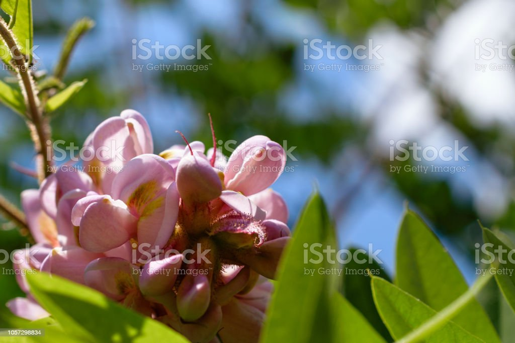 Low Angle View Of Pink Black Locust Flowers Or Robinia Pseudoacacia