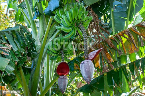 Low angle view of bananas ripening, in a bunch, on a banana tree located on a remote Central America farm.  El Salvador, Central America.