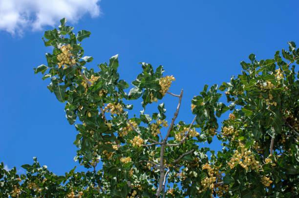 Vista de ángulo bajo de pistacho en ramas de los árboles de maduración - foto de stock