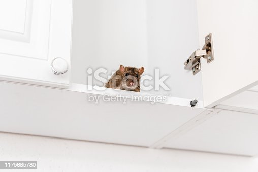 low angle view of small rat in white kitchen cabinet