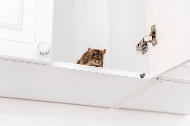 low angle view of small rat in white kitchen cabinet stock photo