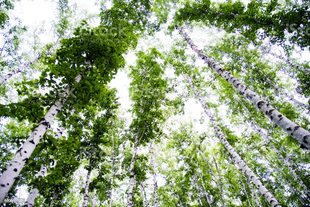 Low angle view of spring birch grove royalty-free stock photo