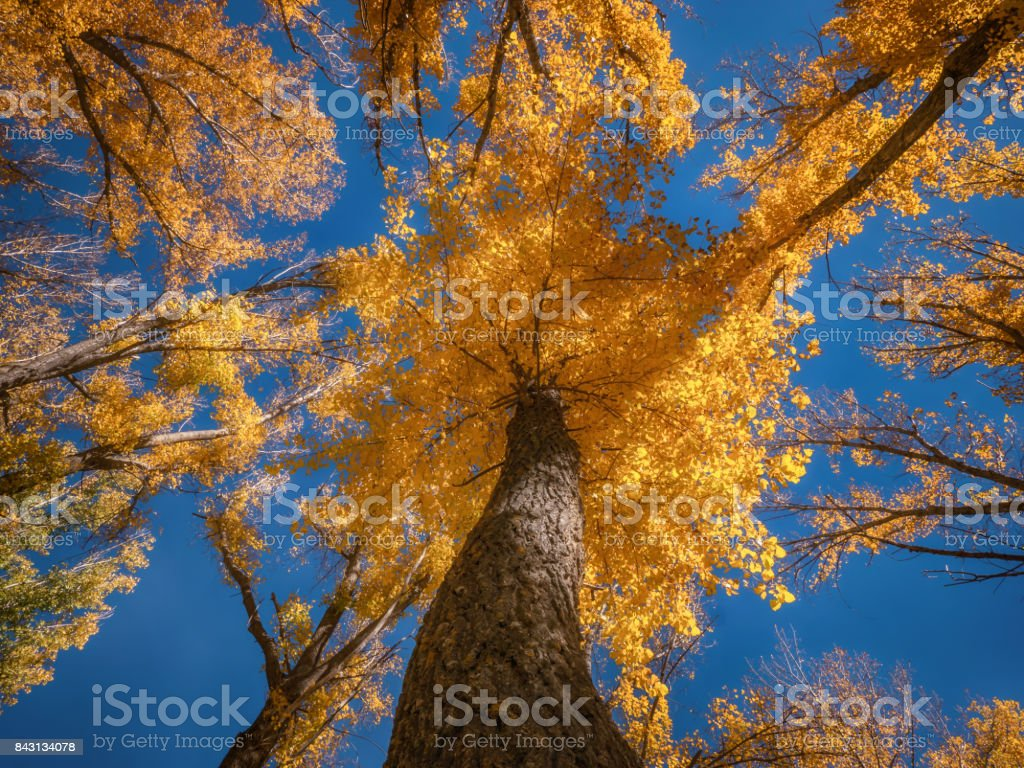 Low angle view of tall tree with bright yellow leaves surrounded by other trees. Autumn scene. stock photo