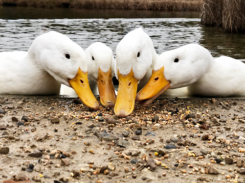 istock Low angle view of the beaks of four American Pekin Aylesbury ducks searching for food 1071876498