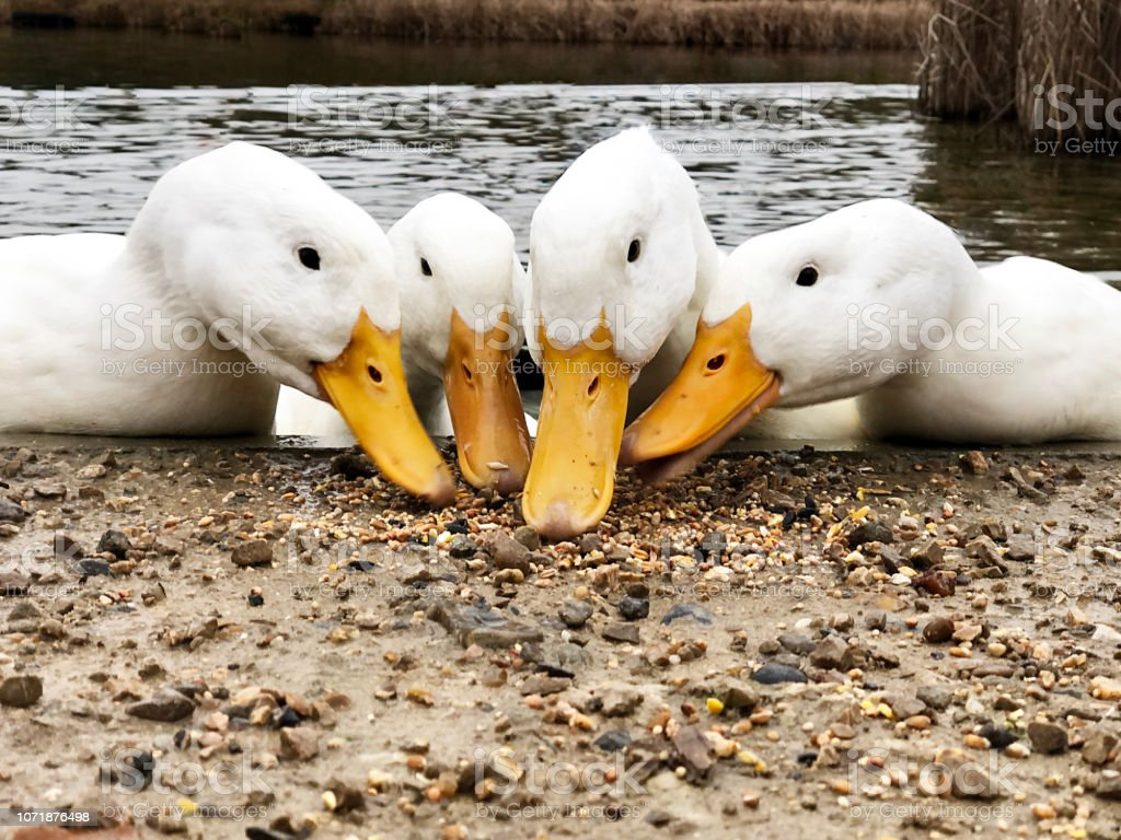 Low angle view of the beaks of four American Pekin Aylesbury ducks searching for food stock photo