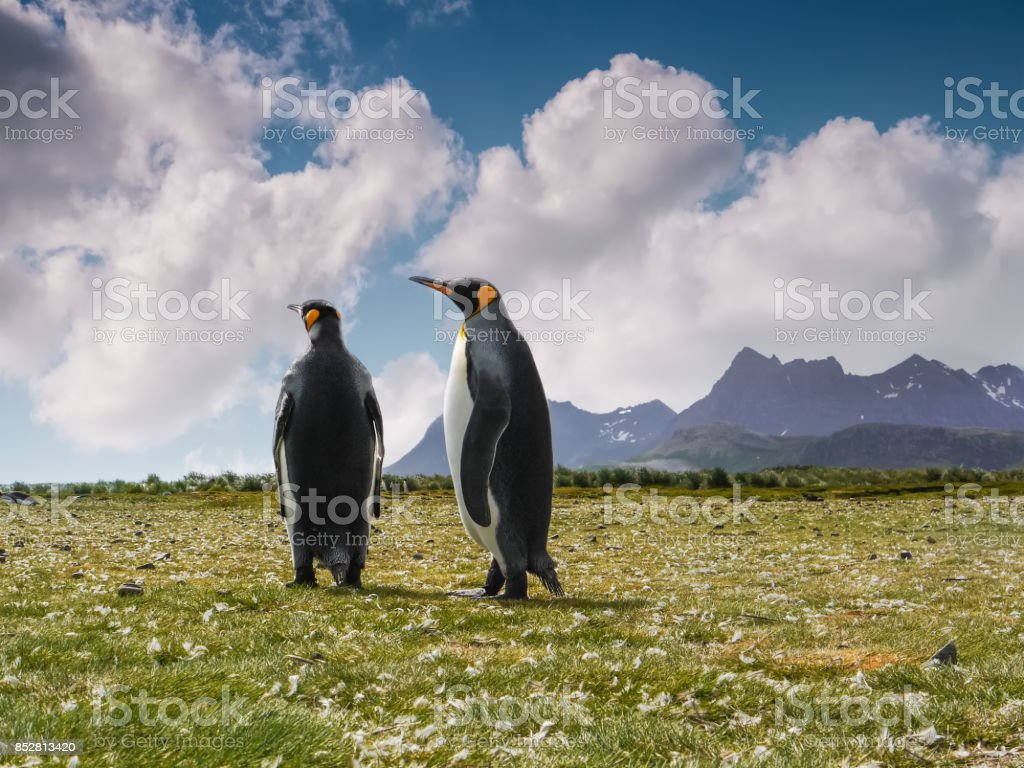 Low angle view of two adult king penguins standing together during courtship season on grassy Salisbury Plain on South Georgia Island. stock photo