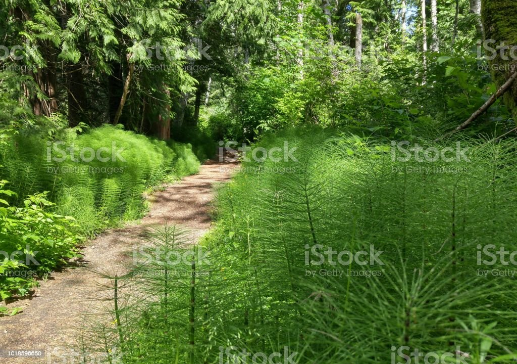 A low angle view through horsetail plants along a trail stock photo