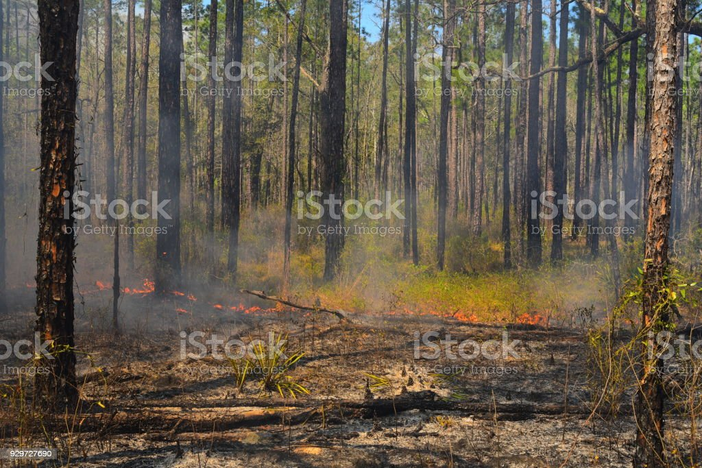 Low flames of a back-fire consuming vegetation during a prescribed burn stock photo