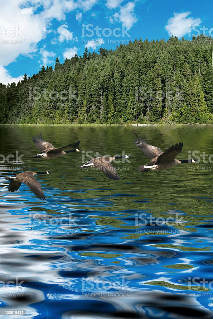 XXXL low flying canada geese royalty-free stock photo