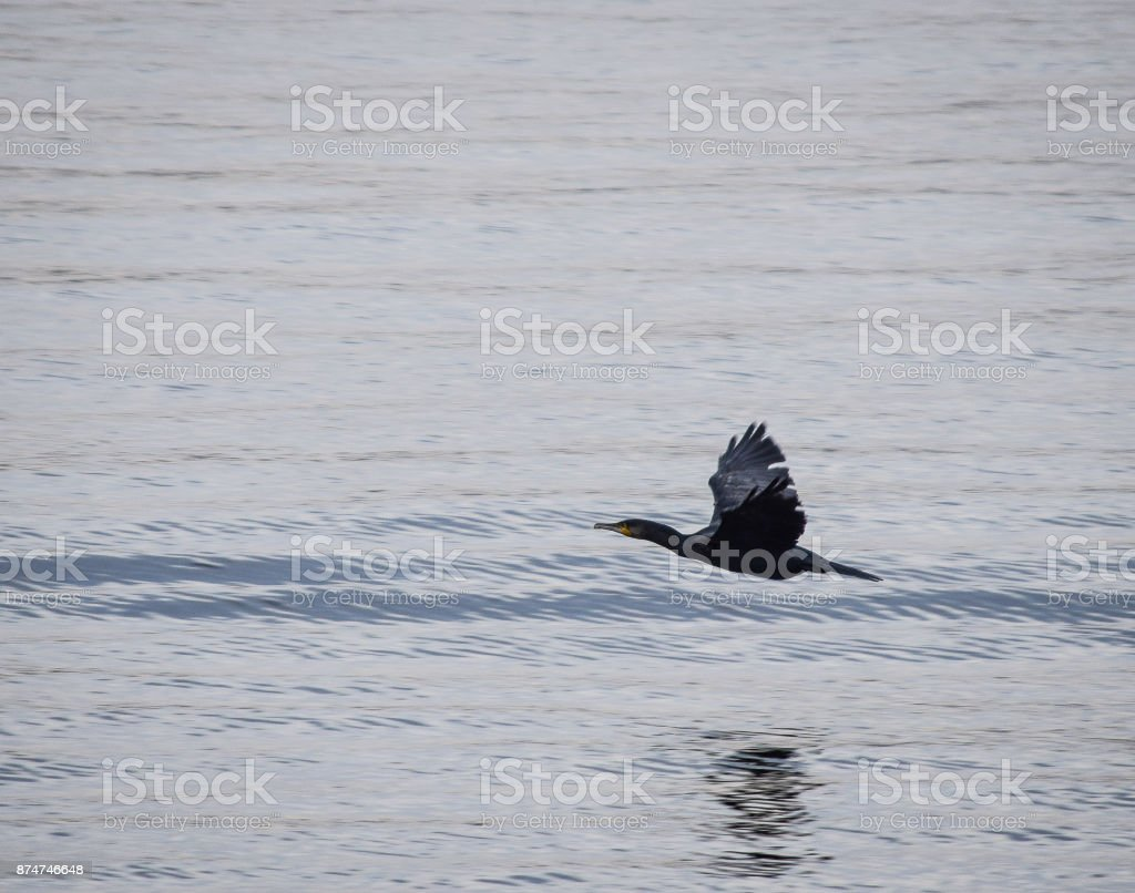 Low flying cormorant stock photo