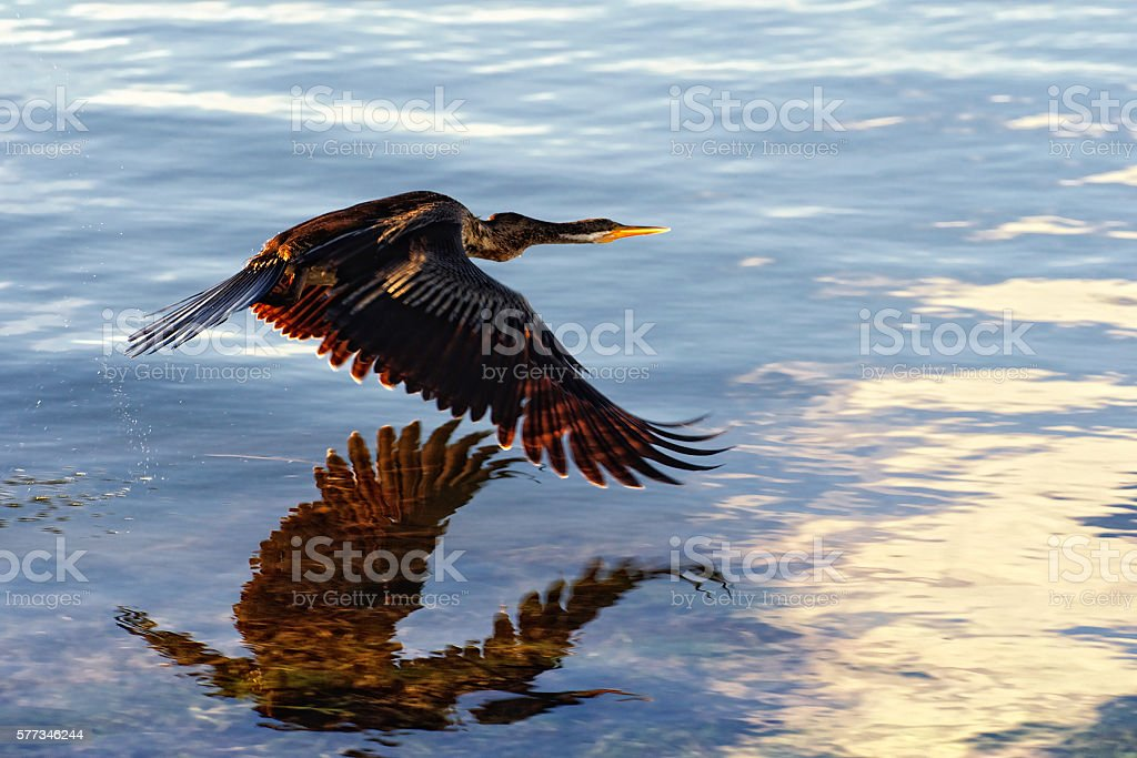 Low flying Darter water bird stock photo