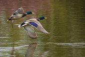 Ducks flying across a lake