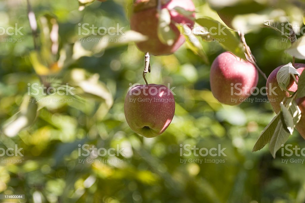 Low Hanging Apple stock photo