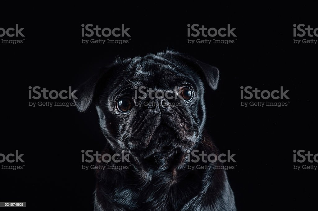 Low key black pug portrait stock photo