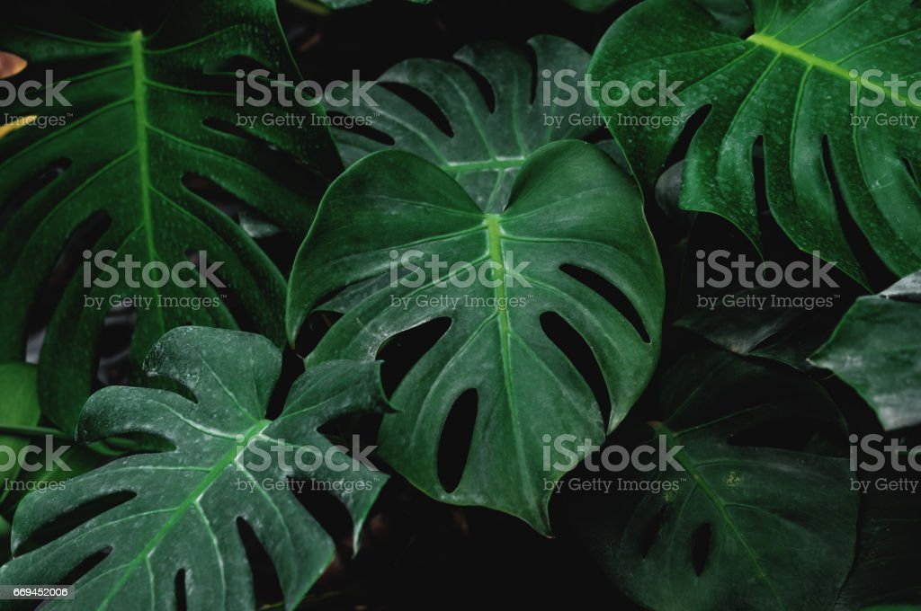 Low key, Green leaves of Monstera plant growing in wild, the tropical forest plant stock photo