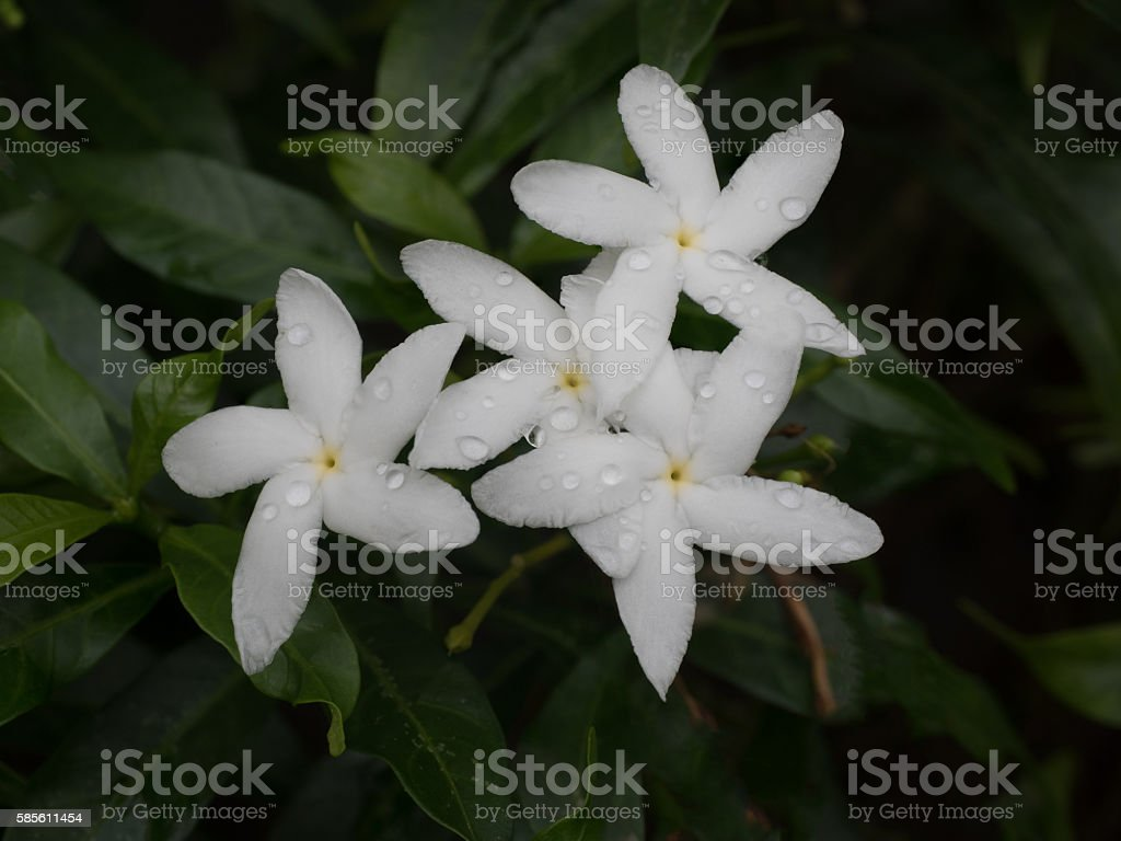 Low key silhouette of Gerdenia Crape Jasmine stock photo